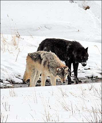 Black and Grey Wolf, Yellowstone National Park