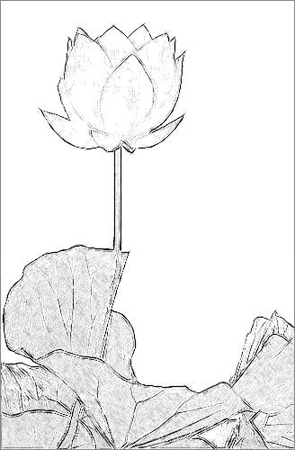 lotus flower sketch black amp white imgp5115 lotus