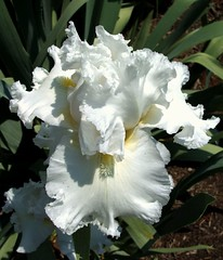 White Bearded Iris 3 | by NIKONGERL / Please do not copy my images without p