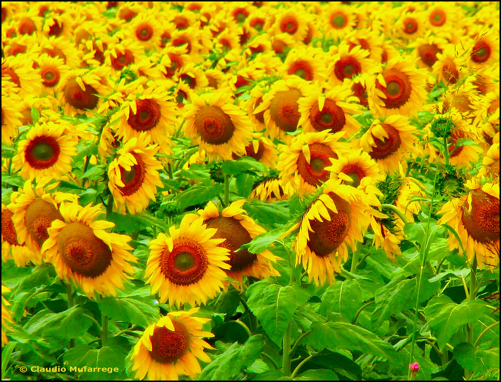 girasoles para los amigos    sunflowers for the friends