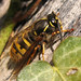 Wasp - Vespula sp.