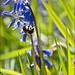 Bluebells, Bee