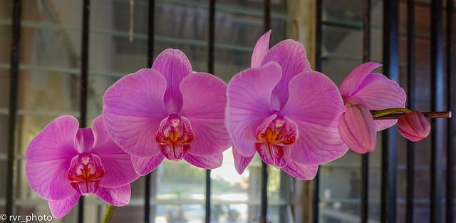 Orchid in Valle de Anton, Panama