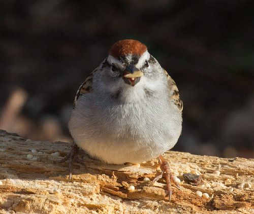 Chipping Sparrow | by Laura Erickson