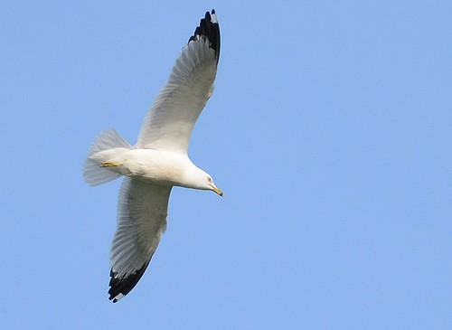 Gull #2 | by Wes Iversen