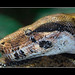 Boa constrictor imperator - smiling?