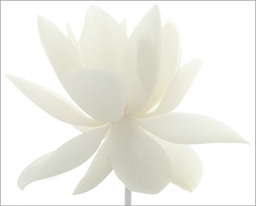 white lotus flower / whiteonwhite  imgp  white lotus…  flickr, Beautiful flower