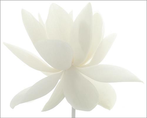 white lotus flower / whiteonwhite  imgp  white lotus…  flickr, Beautiful flower