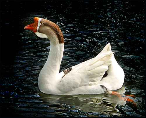 Chinese Goose | Flickr - Photo Sharing!