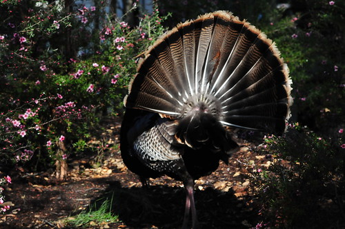 Turkey struts away | by tibchris