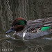 042 Green-winged Teal