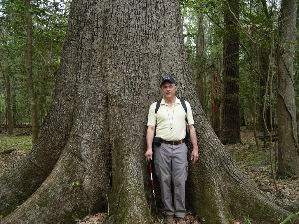 Cherrybark oak quercus pagoda  circumference this