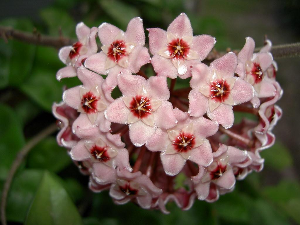 Hoya Curly Leaf Wax Plant Flower Clusters Amazing