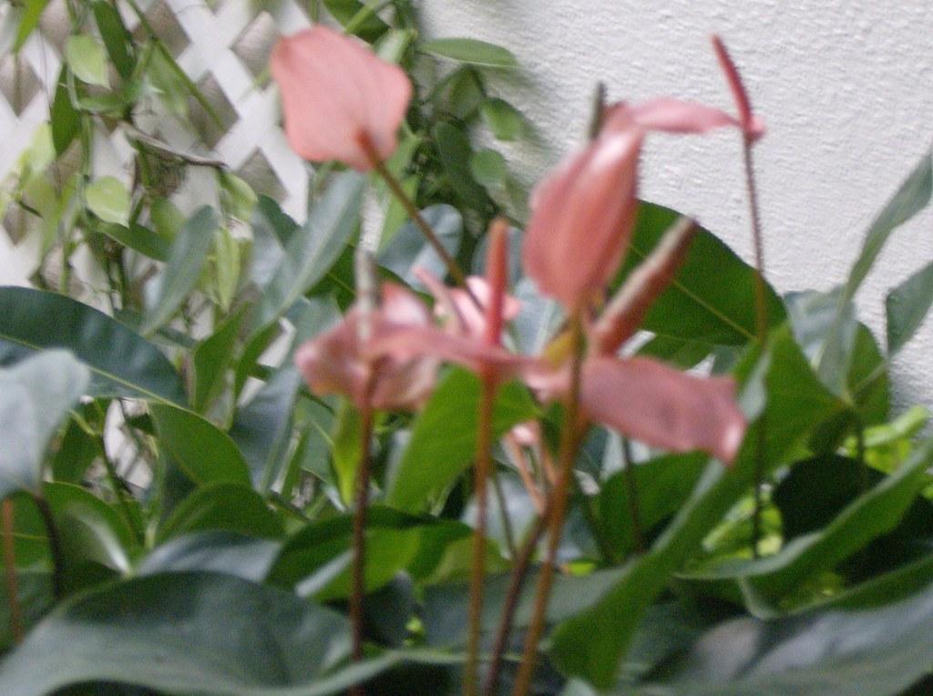 Anthurium andreanum hybrid hong kong anthurium - Anthurium turenza ...