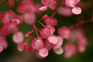 like little cherry drops | by pamramsey