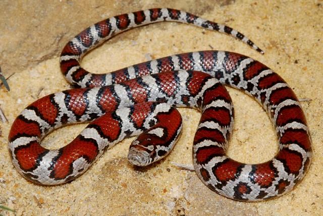 (Lampropeltis triangulum) | A juvenile eastern milk snake ...