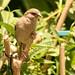 Hen sparrow.
