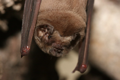 Ghost-faced bat | Not the greatest picture but a crazy ...