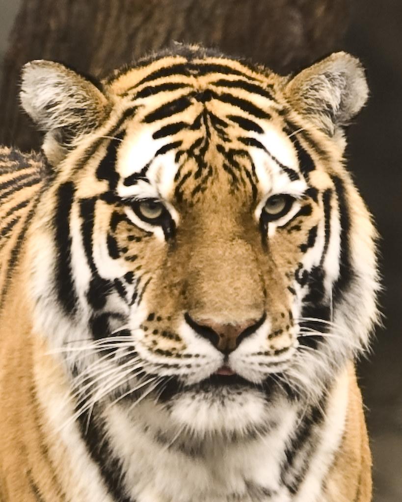 the white tiger free pdf