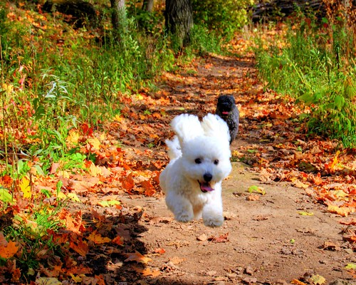 flying bichon frise | by Jason Mulcahy