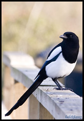 Magpie | by CathRB