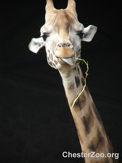Giraffe's little snack | by Chester Zoo