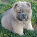 chow_chow_pups_03a