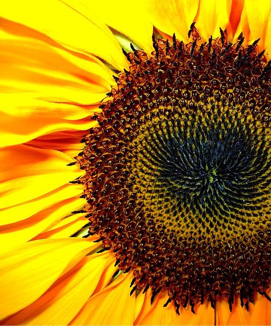 Sunflower Center   Another closeup of a pretty sunflower ...