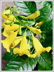 Tecoma stans (Yellow Bells,Yellow Trumpetbush, Yellow Elder) with trumpet-shaped blossoms, 27 Sept 2013