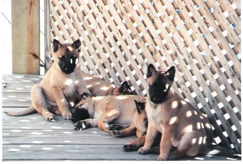 Chase and Votca pups 2004 | by Intrepid Malinois