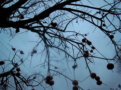 Persimmon tree: Raindrops fell on my camera lens and smudged this one slightly | by yaznotjaz