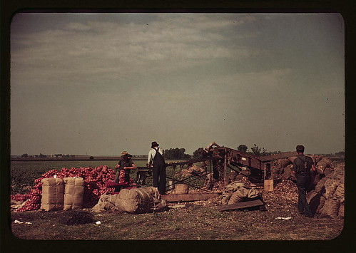 [Grading and packing onions, Rice County, Minnesota]  (LOC) | by The Library of Congress
