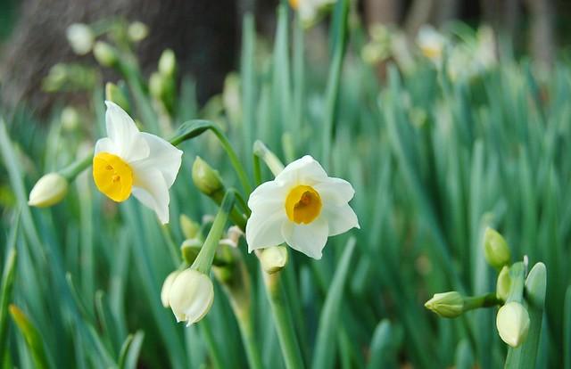 日本水仙 | 山に咲いた日本水仙。 撮影:08/1月 | komichi | Flickr