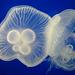 Pulsing Floaty White Jellyfish