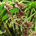 dendrobium spectabilis, atlanta botanical garden, altanta, fulton county, georgia 2