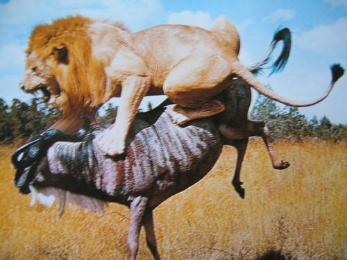 gazelle running from lion - photo #34