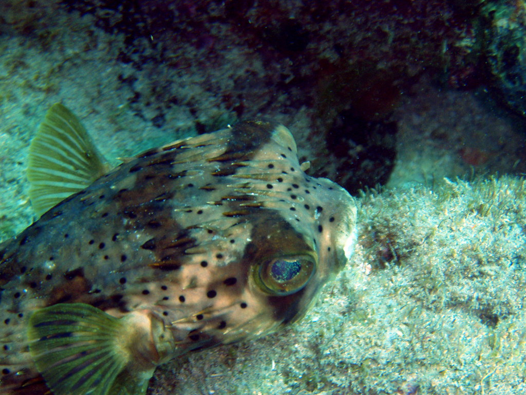 Porcupine puffer 2 porcupine puffer fish the caves for Puffer fish florida