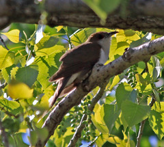 Black-billed Cuckoo | by Laura Erickson