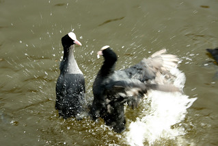 COOT FIGHT!!! | by squacco
