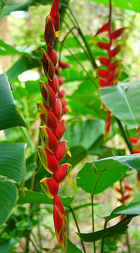 Heliconia 2 | by Francine Clouden