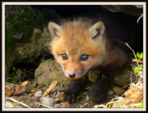 Brave baby fox | by vostok71