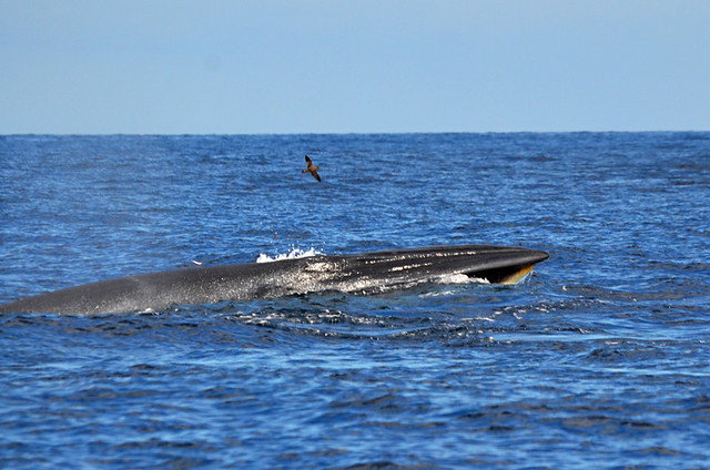 Bryde's whale, Tenerife