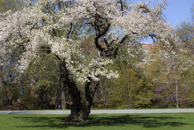 Flowering Tree in Prospect Park, Brooklyn, New York   Flickr