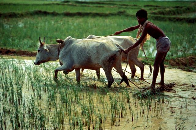 cattle,  tine cultivator