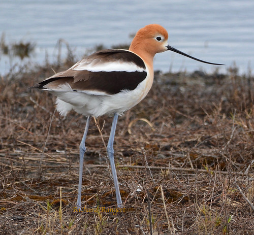 American Avocet | by Alameda Point Enviro