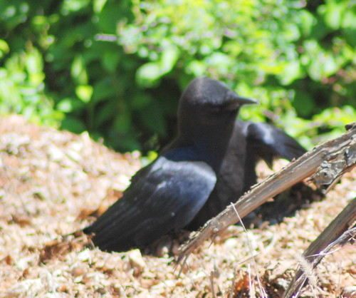 Crow digging in compost. | by BobMacInnes