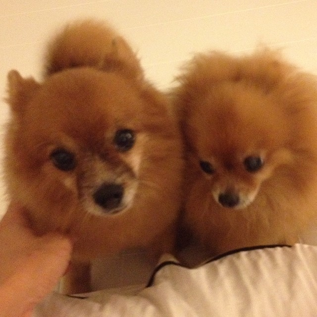 Laven Hebe Nicholas Pomeranian Pet Dogs Brown Mala Flickr