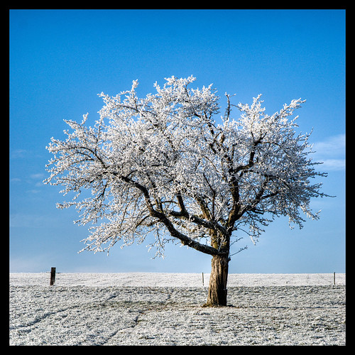 Frosty Tree | by usbdevice