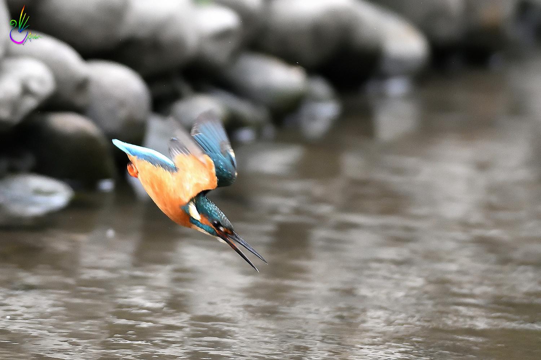 Common_Kingfisher_0979