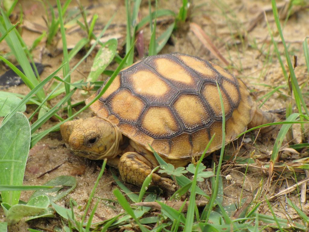Baby gopher tortoise | This baby gopher tortoise is walking … | Flickr